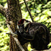 Red-capped Mangabey Poster