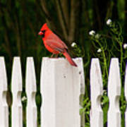 Red Cardinal--white Fence Poster