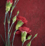 Red Carnation Stems Poster