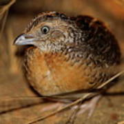 Red-chested Button-quail Poster