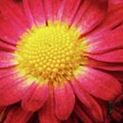 Red Chrysanthemum Poster