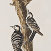 Red-cockaded Woodpecker Poster