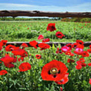 Red Corn Poppies At The Fence Poster