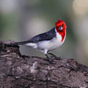 Red Crested Posing Poster