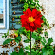 Red Dahlia By Window Poster