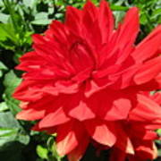 Red Dahlia In The Green Poster