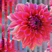 Red Dahlia Poster