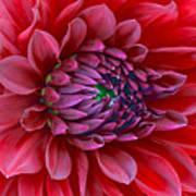 Red Dalia Up Close Poster
