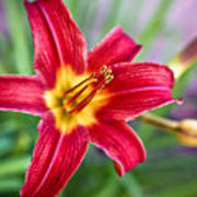 Red Daylily Poster by Ryan Kelly