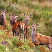 Red Deer In The Scottish Highlands Poster