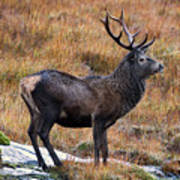 Red Deer Stag In Autumn Poster