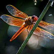 Red Dragonfly On Reed Poster