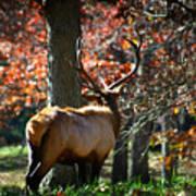 Red Elk Poster