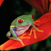 Red-eyed Tree Frog Agalychnis Poster
