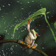 Red-eyed Tree Frog In The Rain Poster by Michael Durham