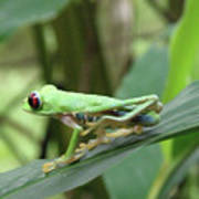 Red Eyed Tree Frog On A Leaf Poster