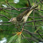 Red Eyed Vireo Poster