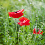 Red Field Poppies Poster