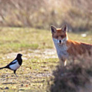 Red Fox And Magpie Poster