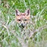 Red Fox Baby Hiding Poster