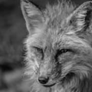 Red Fox In Black And White Poster