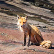 Red Fox In Maine Poster