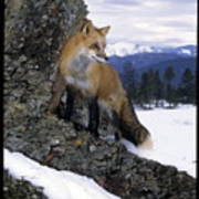 Red Fox In The Mountains Poster