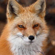 Red Fox In Winter Ruff Poster