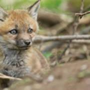 Red Fox Kit Poster