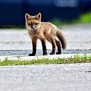 Red Fox Kit On Road Poster