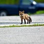 Red Fox Kit Standing On Old Road Poster