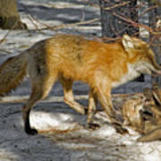 Red Fox Mommy And The Cutest Puppy Poster