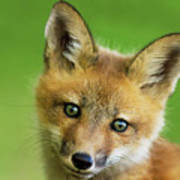 Red Fox Pup Poster