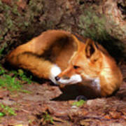 Red Fox Resting Square Poster
