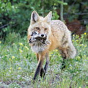 Red Fox Vixen Brings Home A Meal Poster