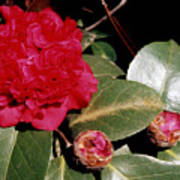 Red Frilly Camillia Poster