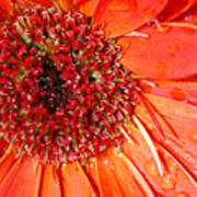 Red Gerbera Daisy Poster
