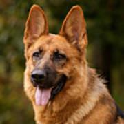 Red German Shepherd Dog Poster