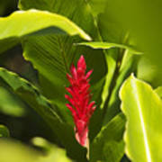 Red Ginger Flower Poster