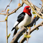 Red-headed Woodpecker At A Glace  Poster