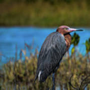 Red Heron Poster