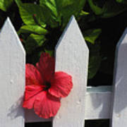 Red Hibiscus And White Fence Poster
