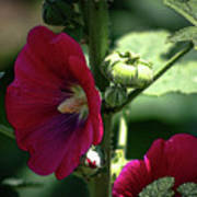 Red Hollyhock 1360 H_2 Poster