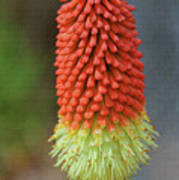 Red Hot Pokers Poster