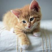Red Kitten On A Beige Blanket Poster