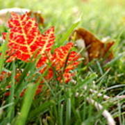 Red Leaf In Grass Poster