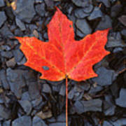 Red Maple Leaf On Black Shale Poster