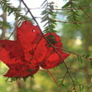 Red Maple Leaf On Hemlock Poster