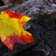 Red Maple Leaf On Old Log Poster