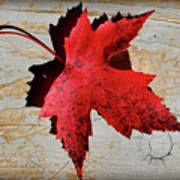 Red Maple Leaf With Burnt Edge Poster